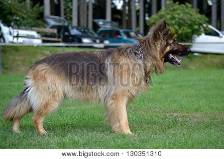 German Longhair Shepherd is on the lawn waiting for command