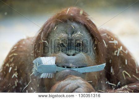 Orang Utan Monkey Close Up Portrait
