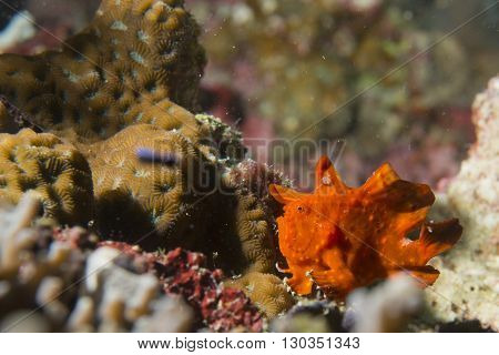 A Frog Fish On Hard Coral Macro In Cebu Philippines