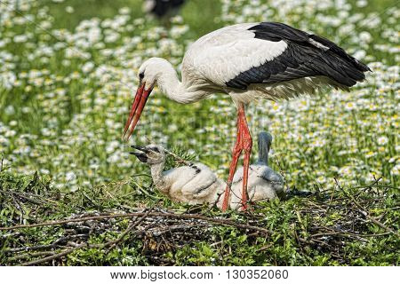 Stork With Baby Puppy In Its Nest On The Daisy Background