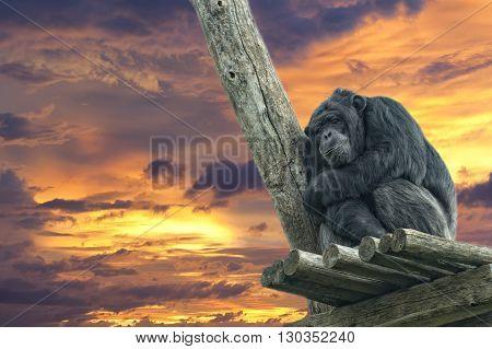 Ape Chimpanzee Monkey While Sleeping