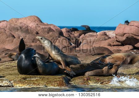 Sea Lion Male With Female Harem Seals Relaxing
