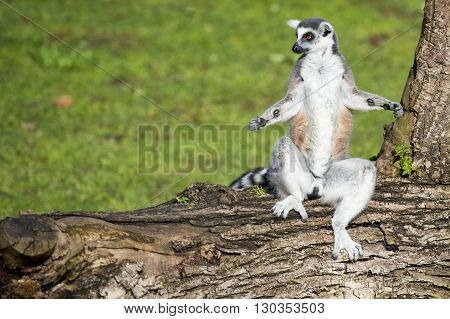 Lemur Monkey While Standing In Yoga Position