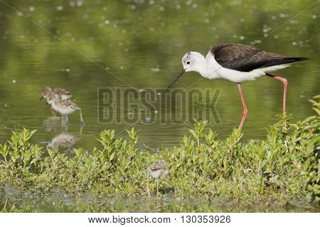 Young Puppy Black-winged Stilt And Mother