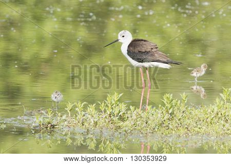Black-winged Stilt Adult And Puppy Looking At You On The Green Background