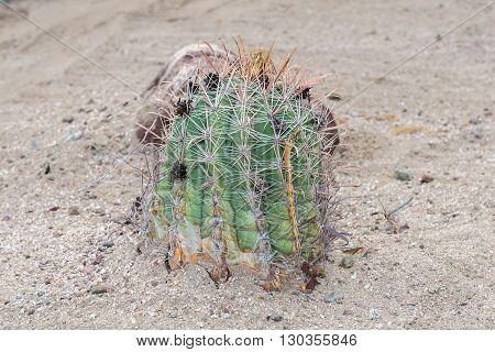 Baja California Cactus Close Up