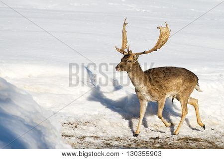 Mule Deer Portrait On The Snow And Forest Background