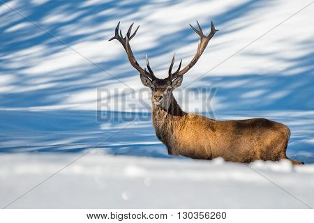 Male Deer Portrait While Looking At You