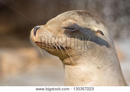 Californian Sea Lion Close Up Portrait