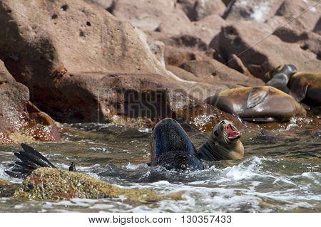 Male And Female Seals Sea Lion