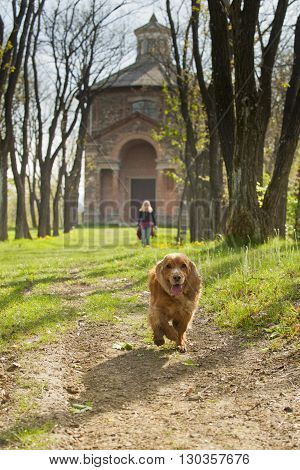 Isolated Cocker Spaniel Running To You