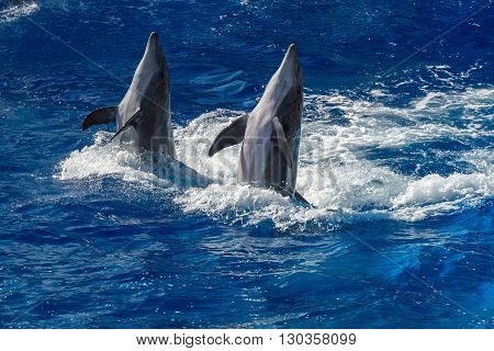 Common Dolphin Jumping Outside The Ocean