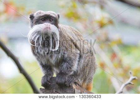 Emperor Tamarin Monkey Isolated Close Up Portrait