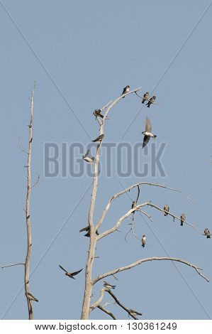 Swallows On A Tree