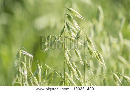 Unripe Oat harvest green field under the sun