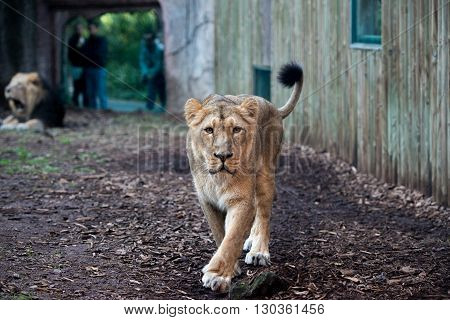Female Lion At The Zoo