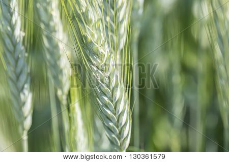 Unripe wheat ears green field under the sun