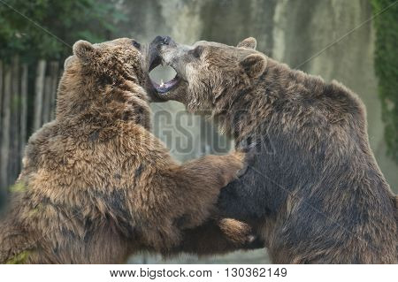 Two Black grizzly bears while fighting close up