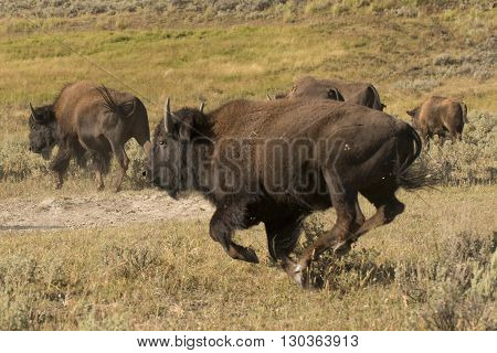 Buffalo Bison Running In Lamar Valley Yellowstone
