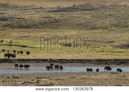 Buffalo Bison Crossing A River In Lamar Valley Yellowstone