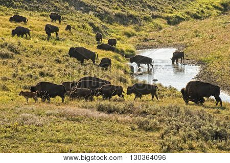 Buffalo Bison While Crossing A Creek In Lamar Valley Yellowstone