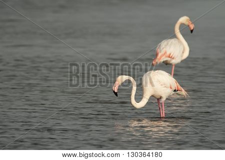 Pink Flamingo Fishing In  A Swamp