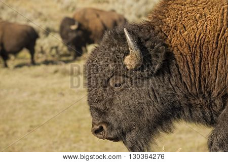 Buffalo Bison In Lamar Valley Yellowstone