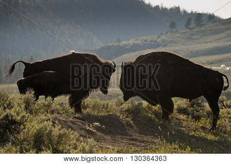 Bison Buffalo Family Sunset Silhouette In Lamar Valley Yellowstone Wyoming