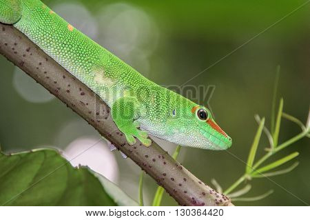 madagascar gold day dust gecko portrait close up