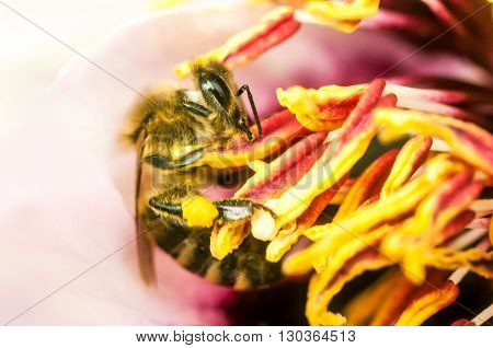 Hardworking Bee Collects Honey From Flowers
