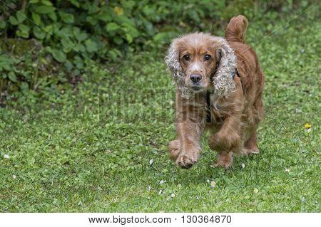 Puppy Dog Cocker Spaniel Portrait