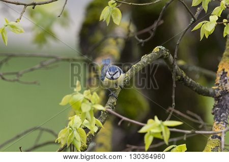 Great Blue Tit Under The Rain