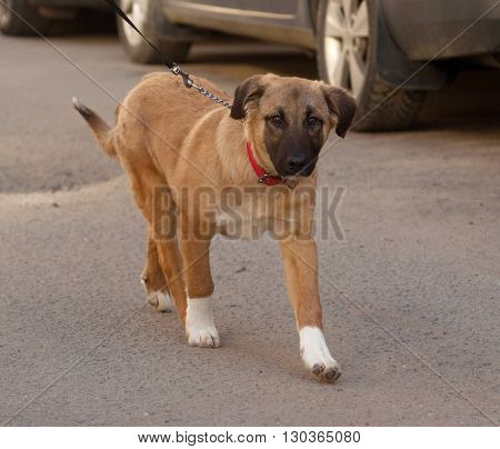 Yellow mongrel puppy in red collar goes on asphalt