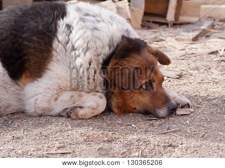 Homeless dog lying on ground and sawdust