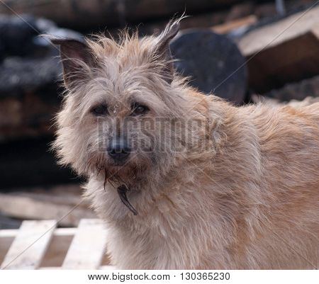 Fluffy stray dog on background of burnt house