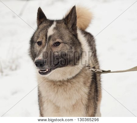 Grey Siberian Laika standing on white snow