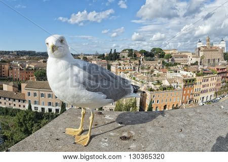 Seagull On Rome View With Saint Peter Vatican Dome