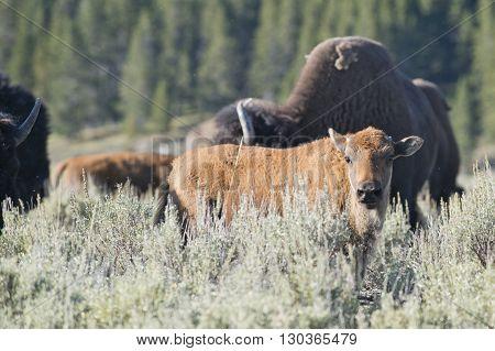 Buffalo Bison Calf In Lamar Valley Yellowstone
