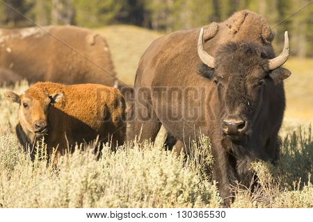 Buffalo Bison In Yellowstone