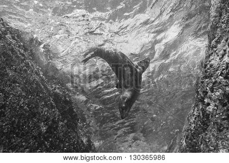 Sea Lion Underwater In Black And White