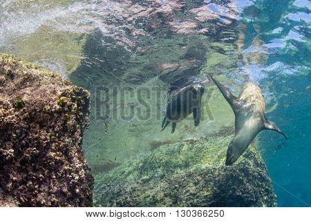Californian Sea Lion Seal Underwater