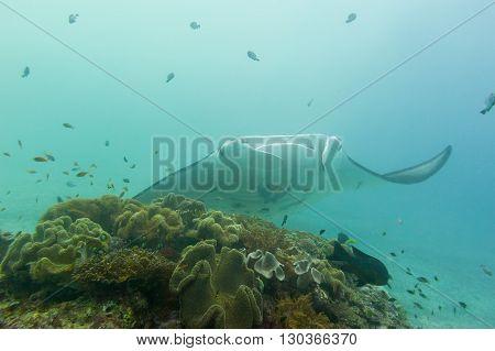 Manta While Diving In Raja Ampat Papua Indonesia