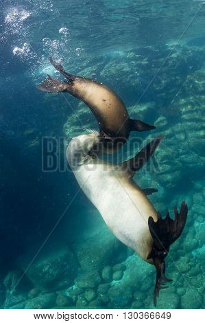 sea lion seal while playing underwater close up puppy and mother