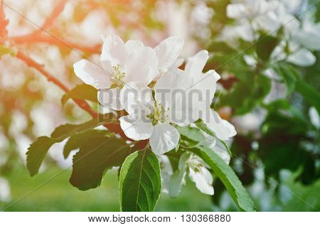 Closeup of spring apple flowers in blossom lit by soft sunlight- spring floral background. Apple tree branch in the spring sunny garden. Selective focus at the central flower. Pastel tones applied.