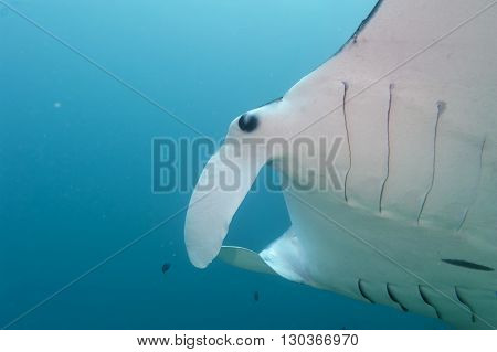Manta In The Deep Blue Ocean Background