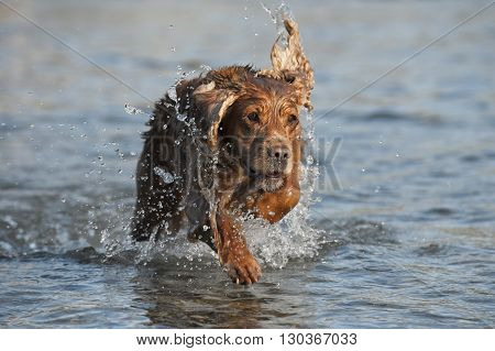 Puppy Cocker Spaniel Playing In The River