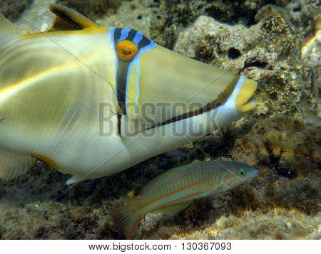 Red Sea Picasso Trigger Fish Close Up Portrait
