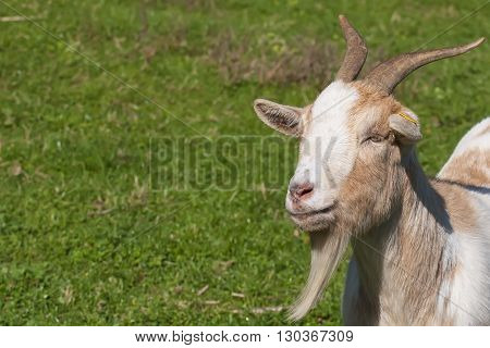Adult Brown And White Goat