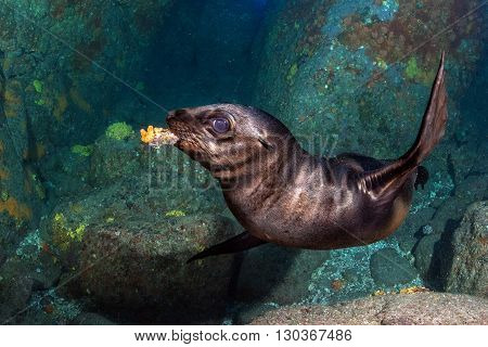 Puppy Sea Lion Underwater Holding A Coral In Mouth