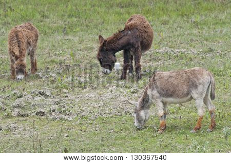 Wild Donkeys Close Up Portrait
